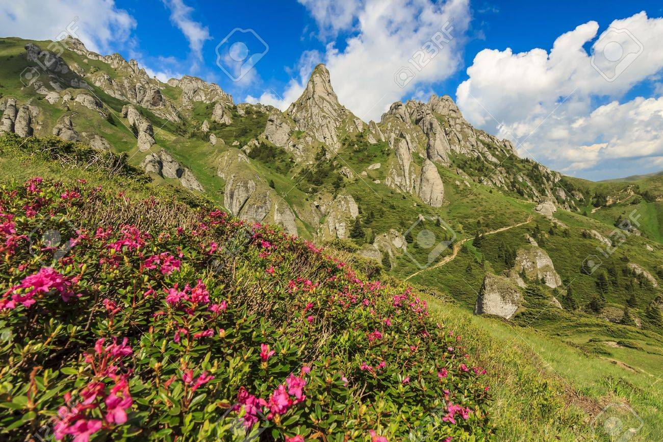 Beautiful Mountain Flowers And Summer Landscape In Ciucas Mountains