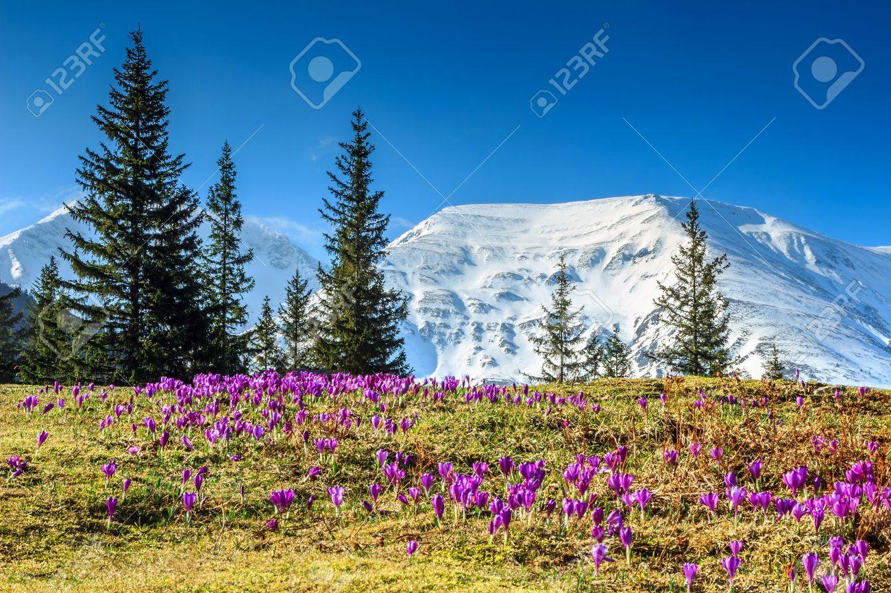Colorful Fraiches Fleurs De Crocus Violet Et Magnifique Paysage De