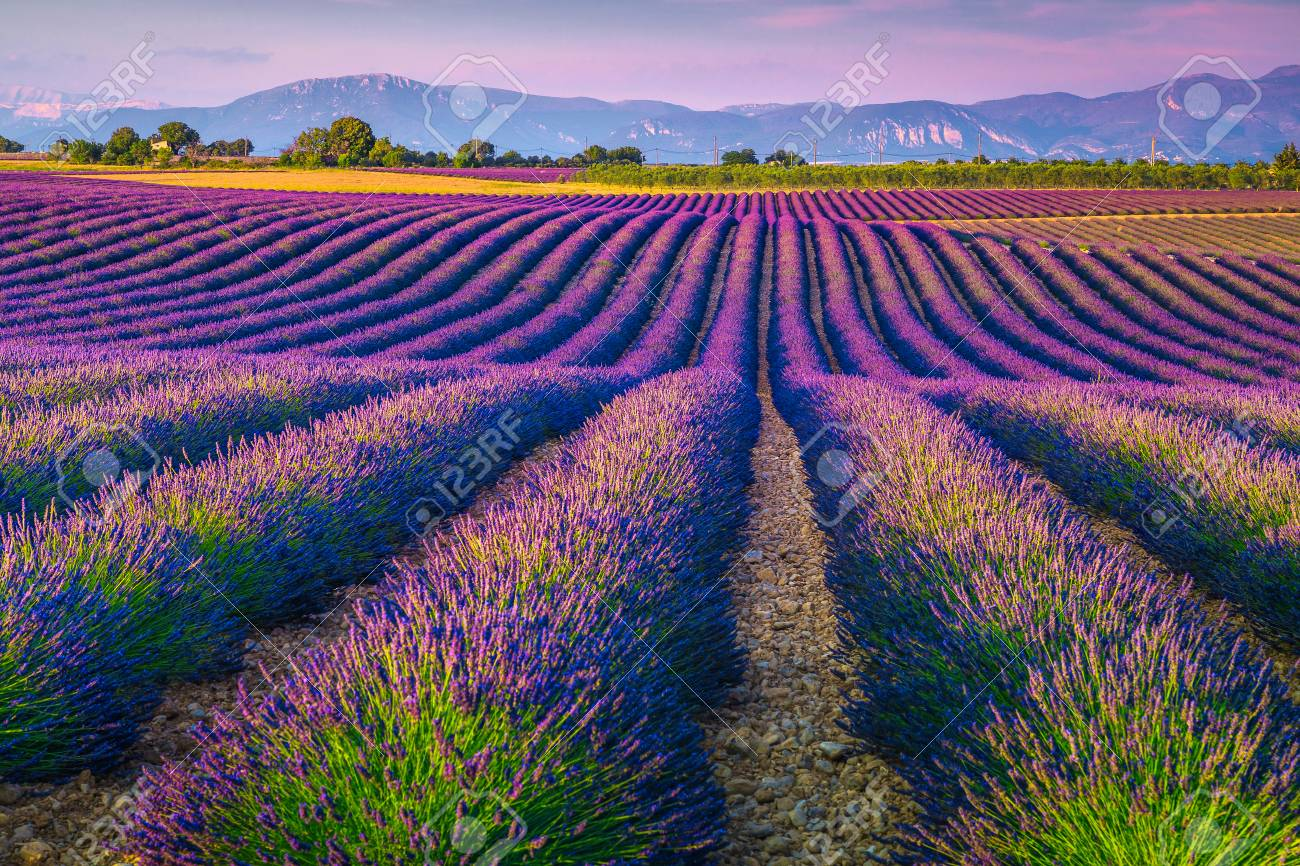 Spectacular lavender rows at sunset. Picturesque purple lavender fields and agricultural areas in Provence region, France, Europe - 125962829