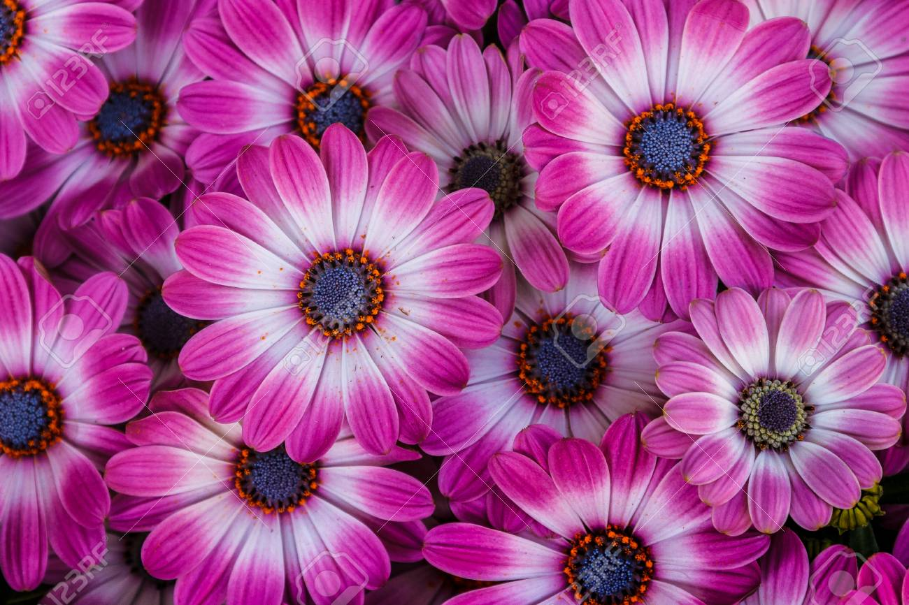 Beautiful Blooming Flowers Of Pink And White African Daisies