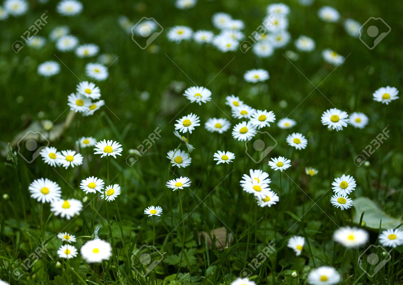 Daisy Is A Small White Flower With A Yellow Centre Which Usually