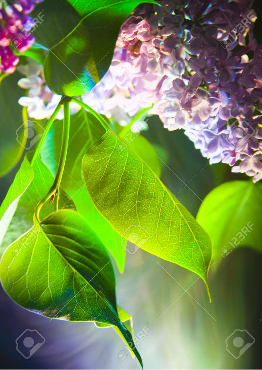 Lilac Is A Tree Or Large Bush That Has Large Purple Or White