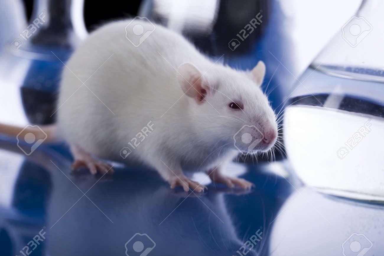 Laboratory rat Stock Photo - 8564524