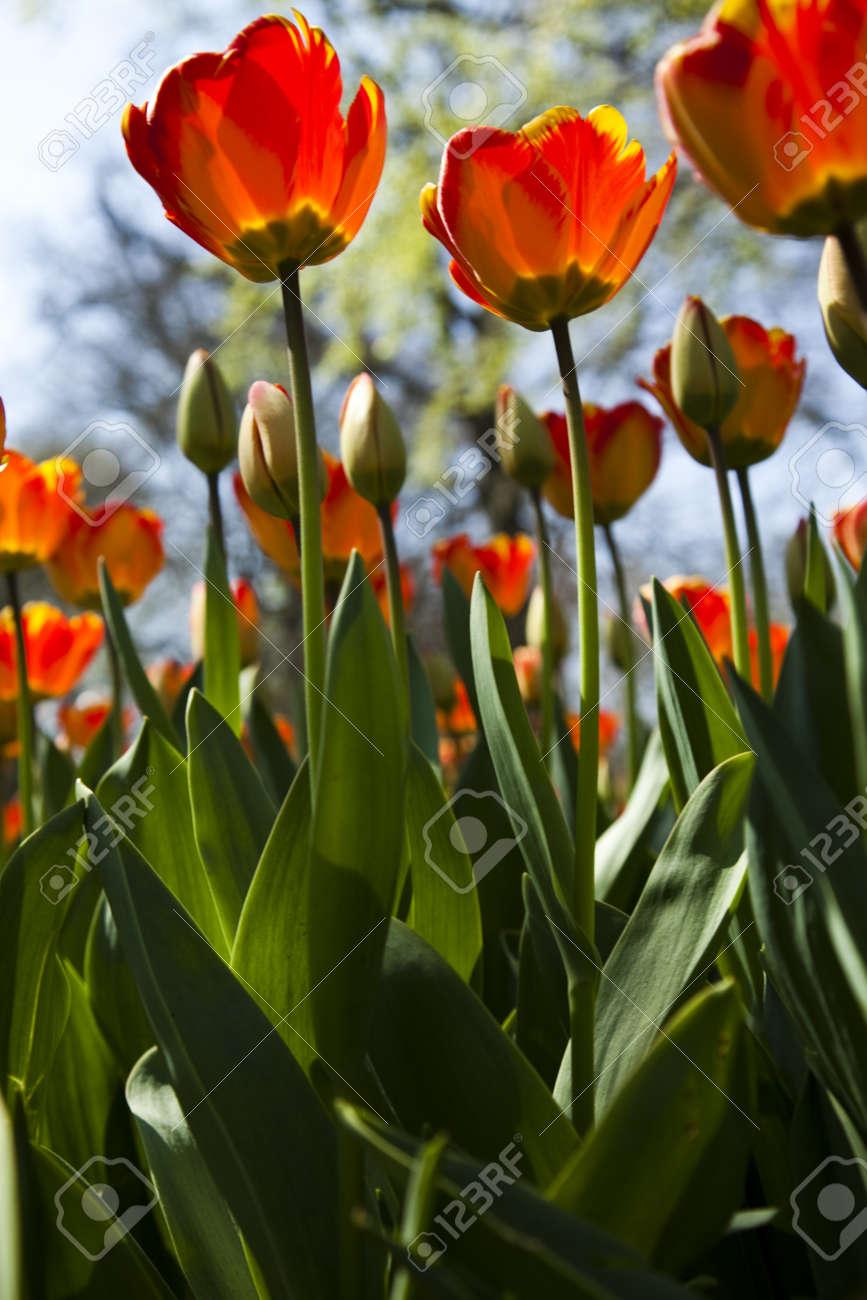 Closeup of Tulip Stock Photo - 9966965