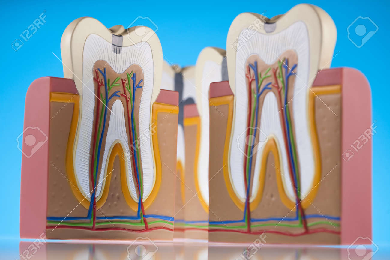 Human tooth structure Stock Photo - 13503152