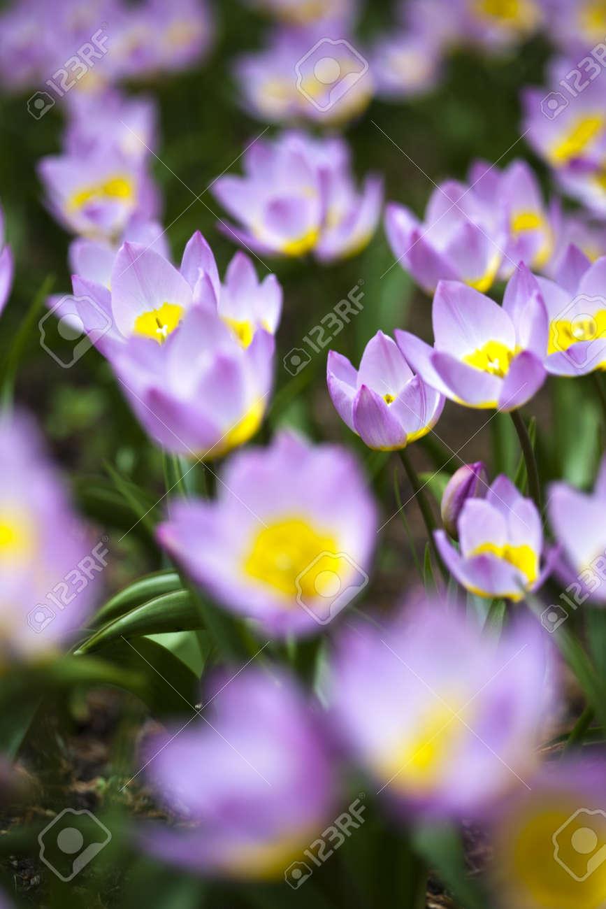 Closeup of flower, tulip Stock Photo - 21268694