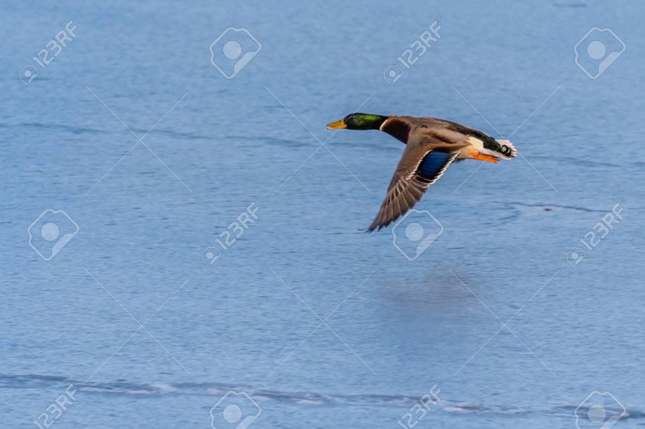 A Mallard Duck Flying Around Over A Frozen Lake Male Duck Also