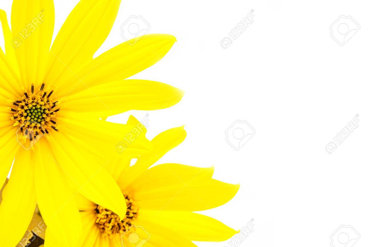 Yellow flower with thin petals on light white background stock photo stock photo yellow flower with thin petals on light white background mightylinksfo