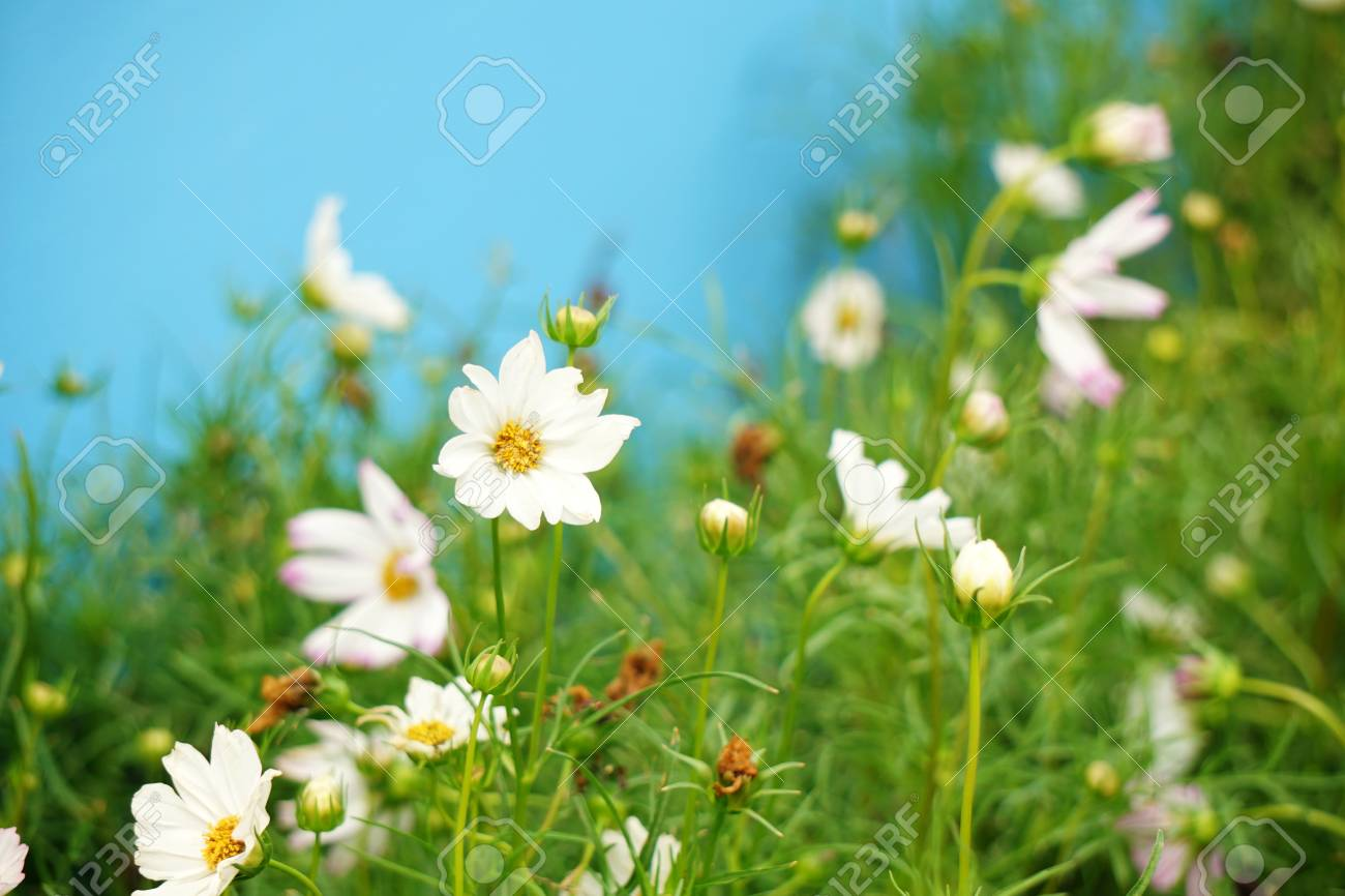 White cosmos flowers blooming in the garden stock photo picture and stock photo white cosmos flowers blooming in the garden mightylinksfo