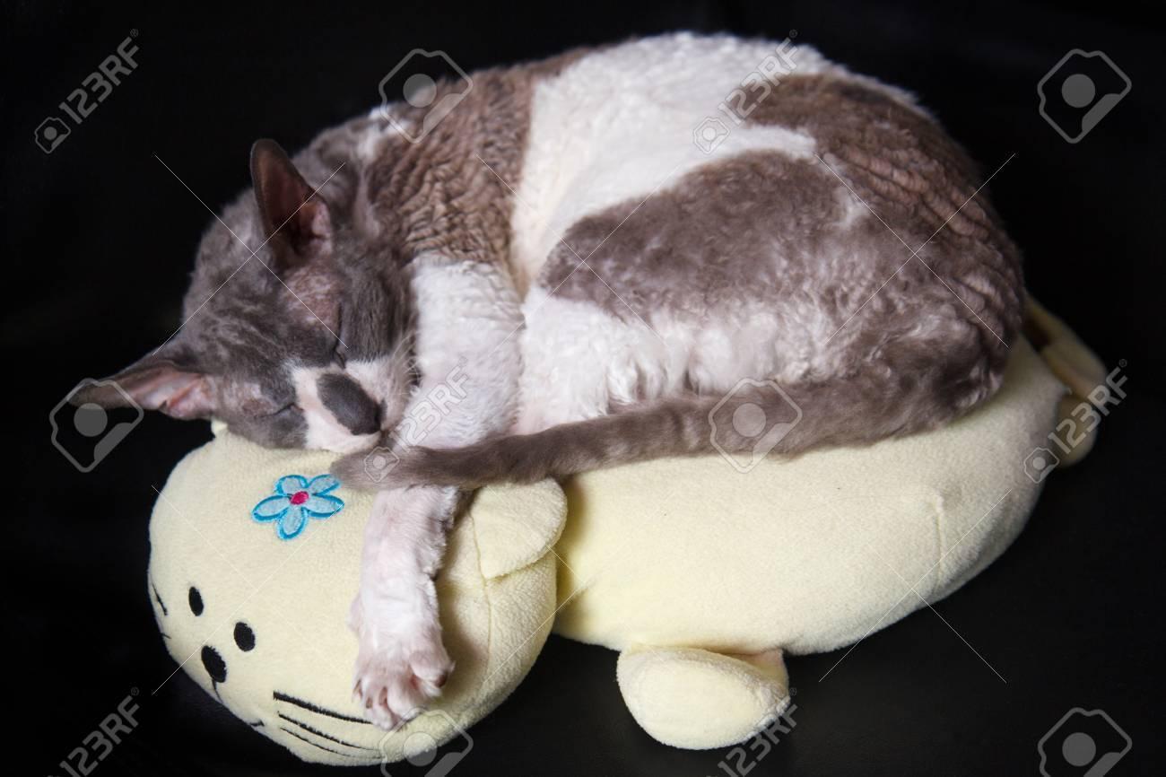 Blue And White Cat Cornish Rex Speeping On Cat Pillow Zdjęcia