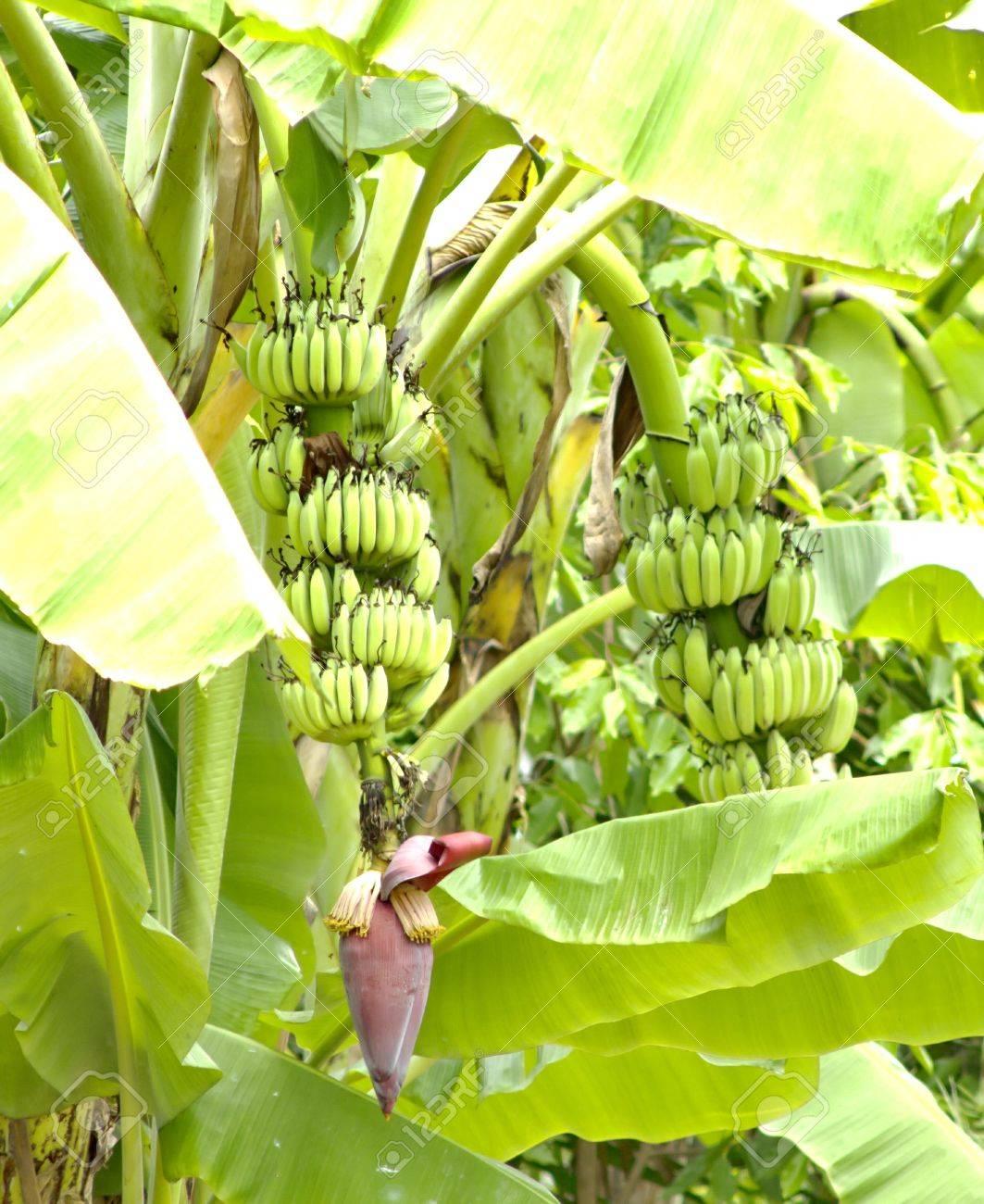 Pianta Di Banana Foto pianta di banana è originario dell'asia e gli steli, foglie, fiori, frutta  e pacchi di cibo pure. sicurezza delle sostanze chimiche.