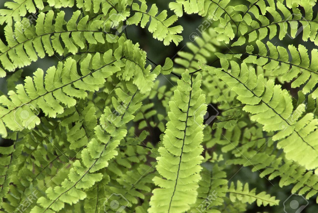 Several brigh green fern leaves showing delicate edges and center veins Stock Photo - 13212334
