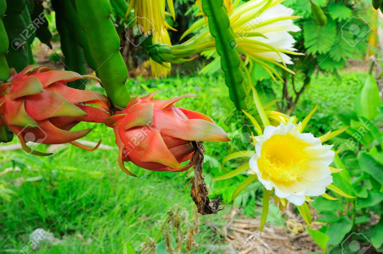 Dragon Fruit Dragon Fruit Flower Stock Photo Picture And Royalty