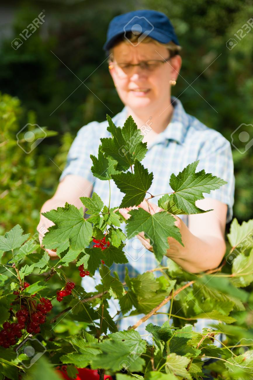 Woman working in the redcurrant bush. Stock Photo - 11899896