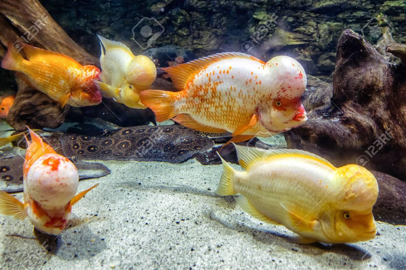 Flowerhorn cichlid - aquarium fish with big head