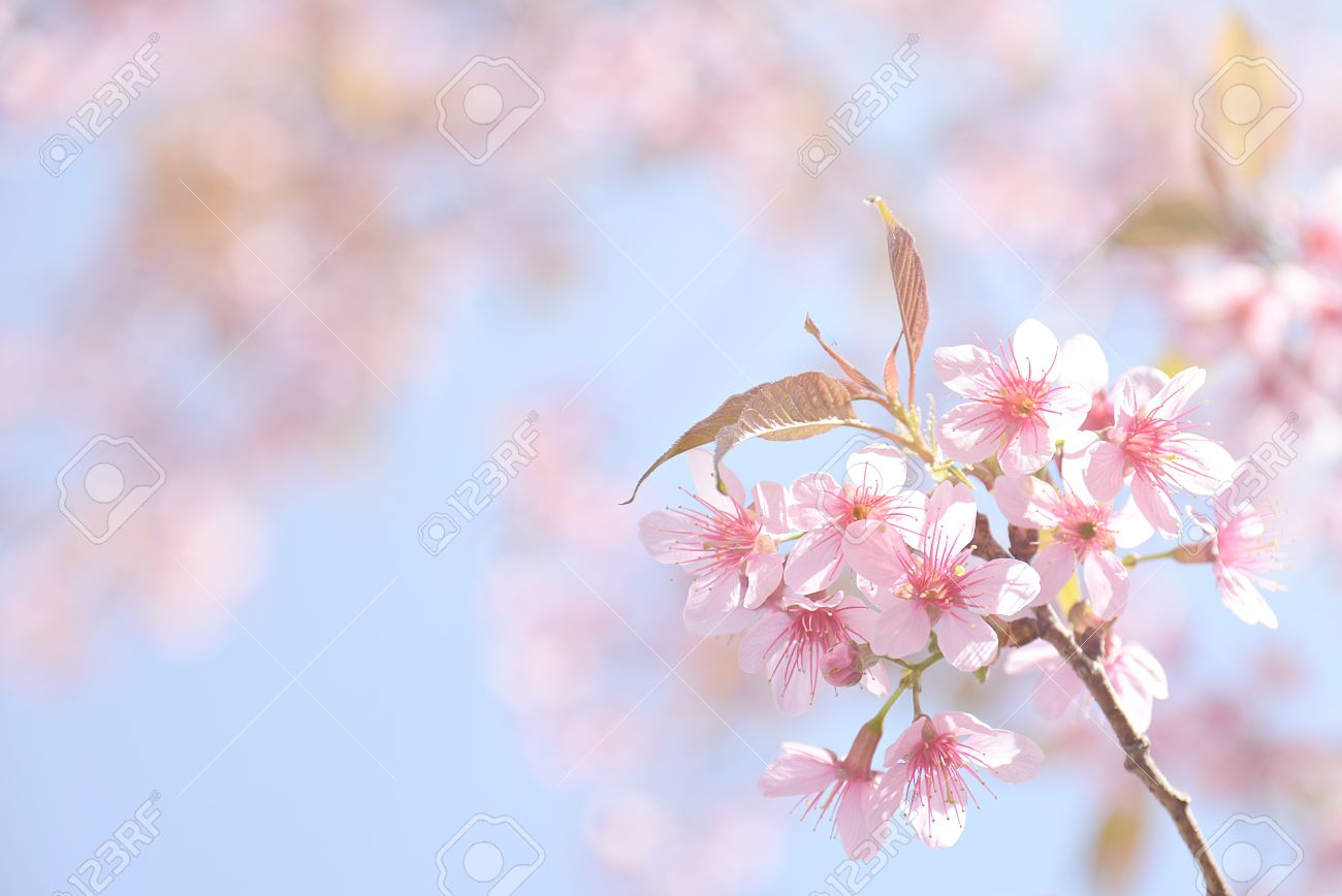 Beautiful pink cherry blossom background stock photo picture and beautiful pink cherry blossom background stock photo 52808401 mightylinksfo
