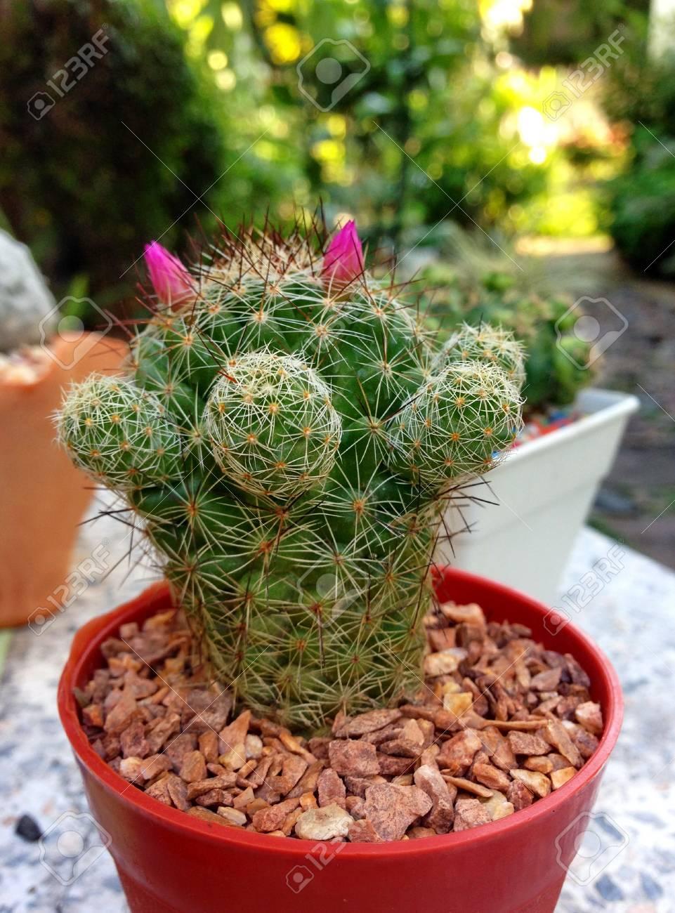 Cactus with small pink flowers stock photo picture and royalty free cactus with small pink flowers stock photo 68246187 mightylinksfo