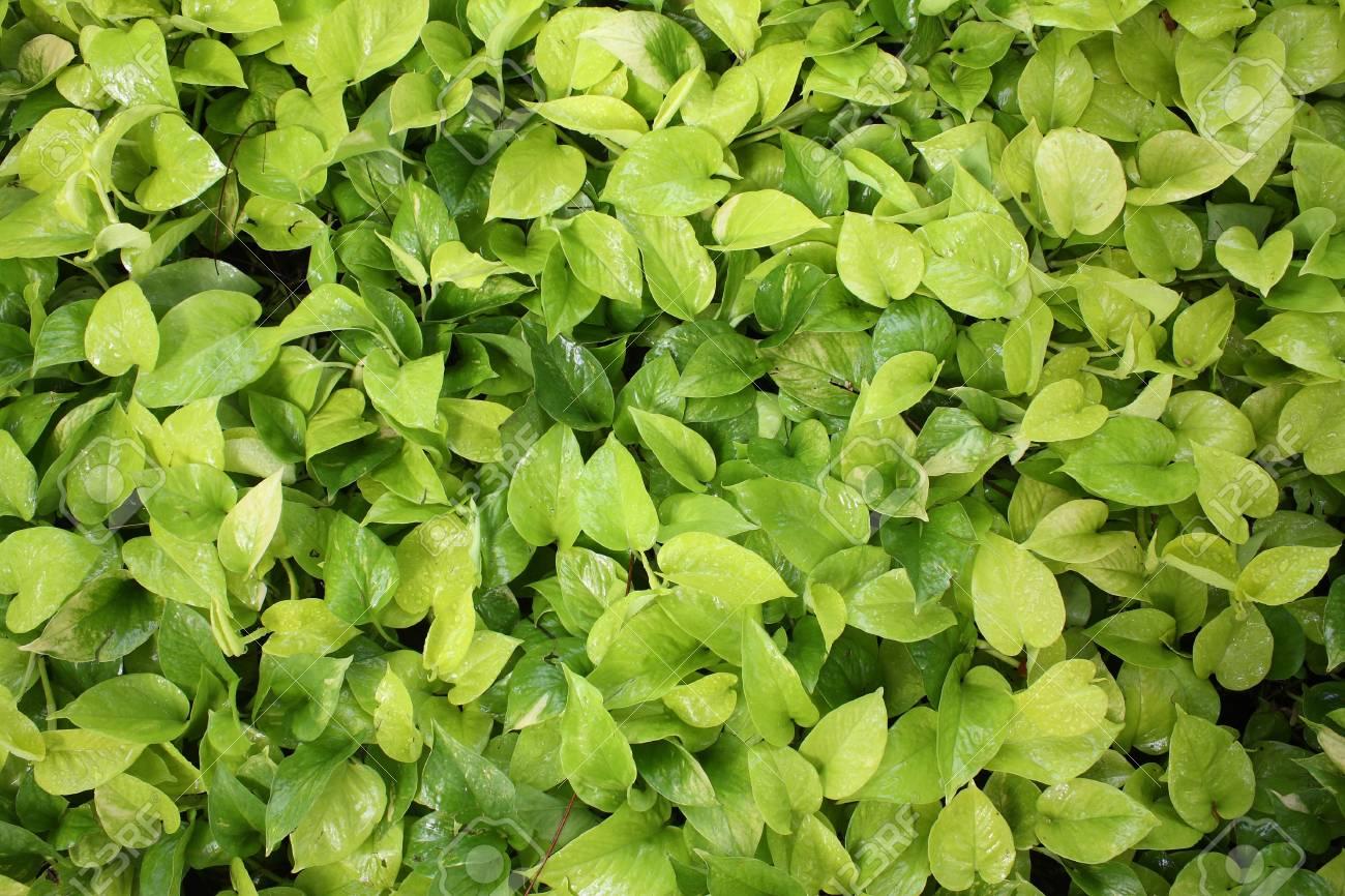 Immagini Stock Cuore Sfondo Verde Foglie Image 12647309