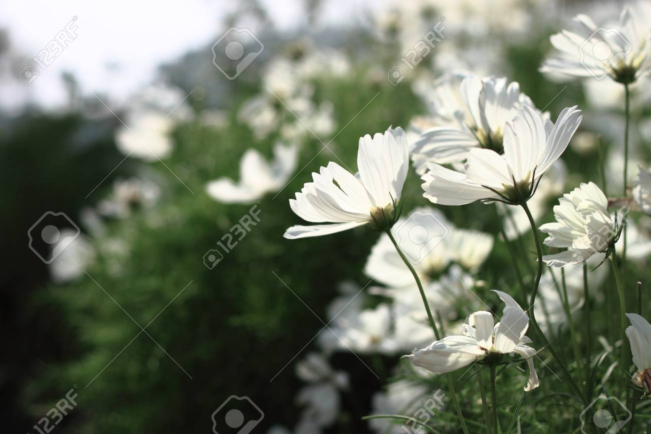 White cosmos flowers stock photo picture and royalty free image stock photo white cosmos flowers mightylinksfo