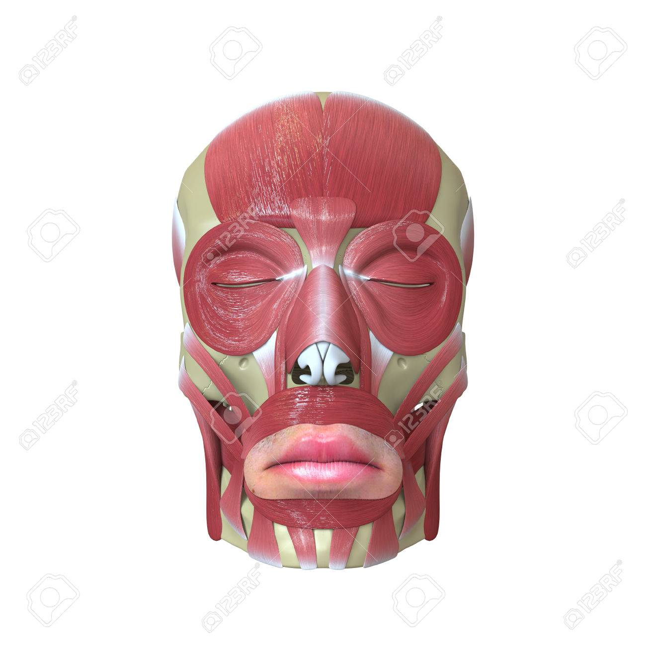 Rendered Human Head With Muscles Stock Photo Picture And Royalty