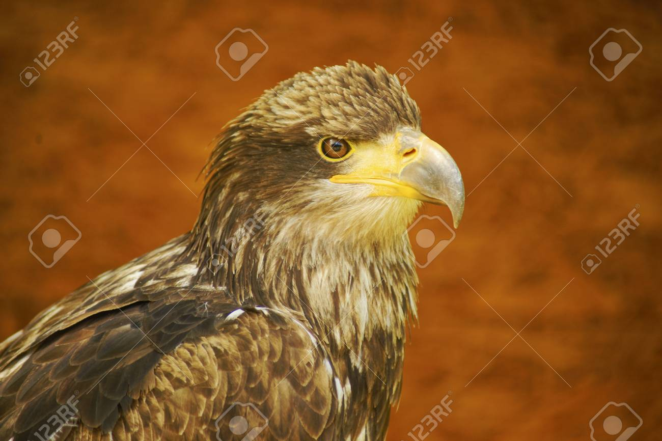 Bald Eagle Stock Photo - 13963369