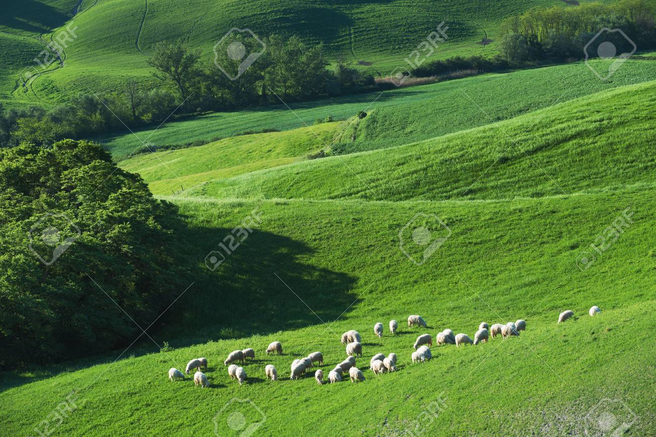 Tuscan sheep on a green spring field next to the wood - 41029289