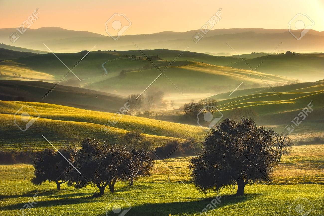 Tuscan fields and olive trees at sunrise in a mystical fog - 43376913