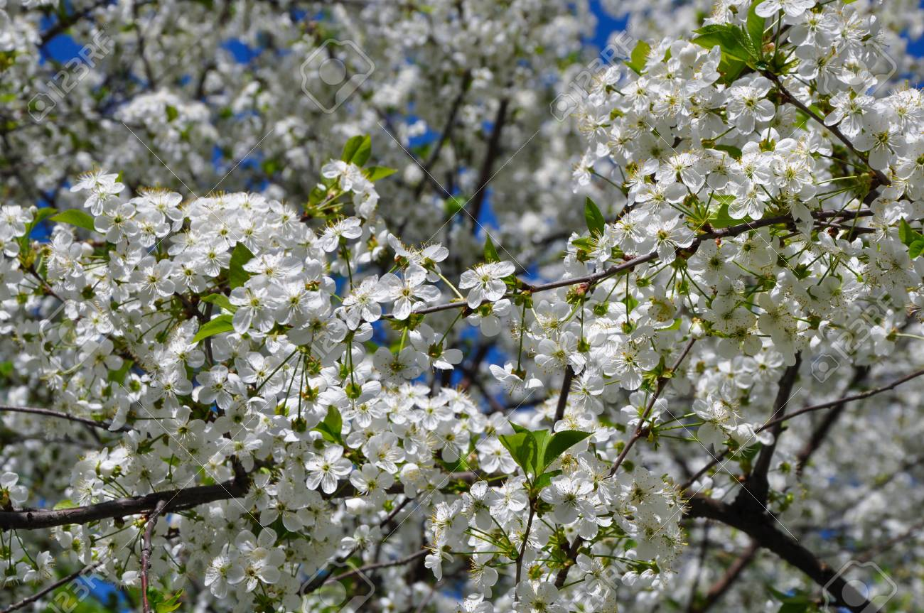 The Cherry Tree Blooms With White Flowers Stock Photo Picture And