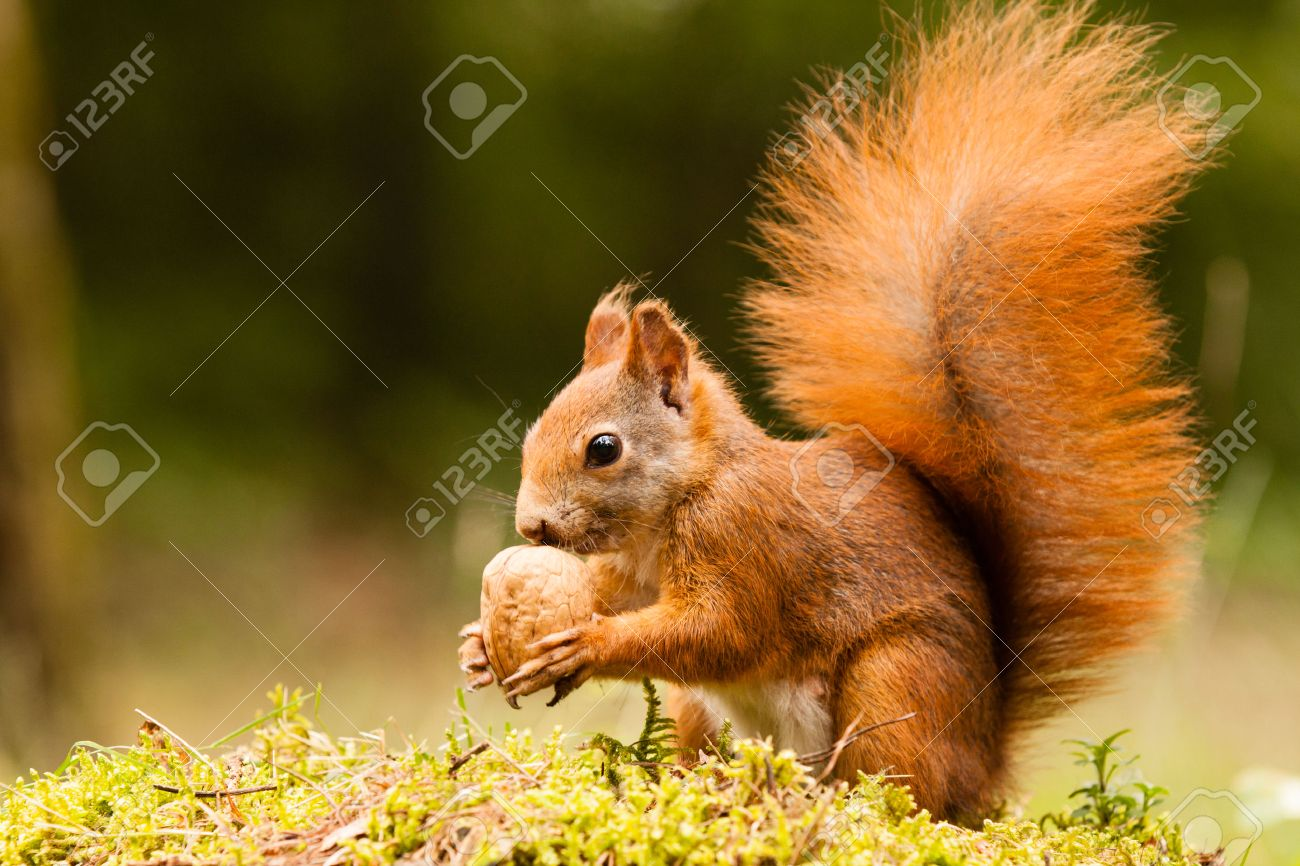 Squirrel with nut - 25314041