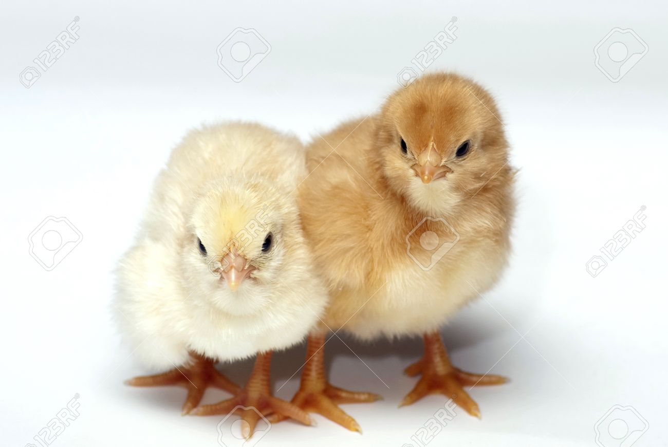 Hen Chicks Stock Photo Picture And Royalty Free Image Image 9592370
