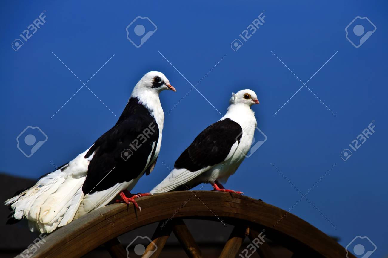 A pair of pigeons Stock Photo - 10615917