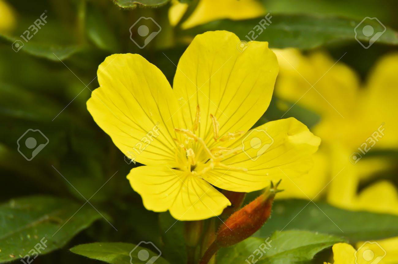 Yellow flower with four petals stock photo picture and royalty free stock photo yellow flower with four petals mightylinksfo