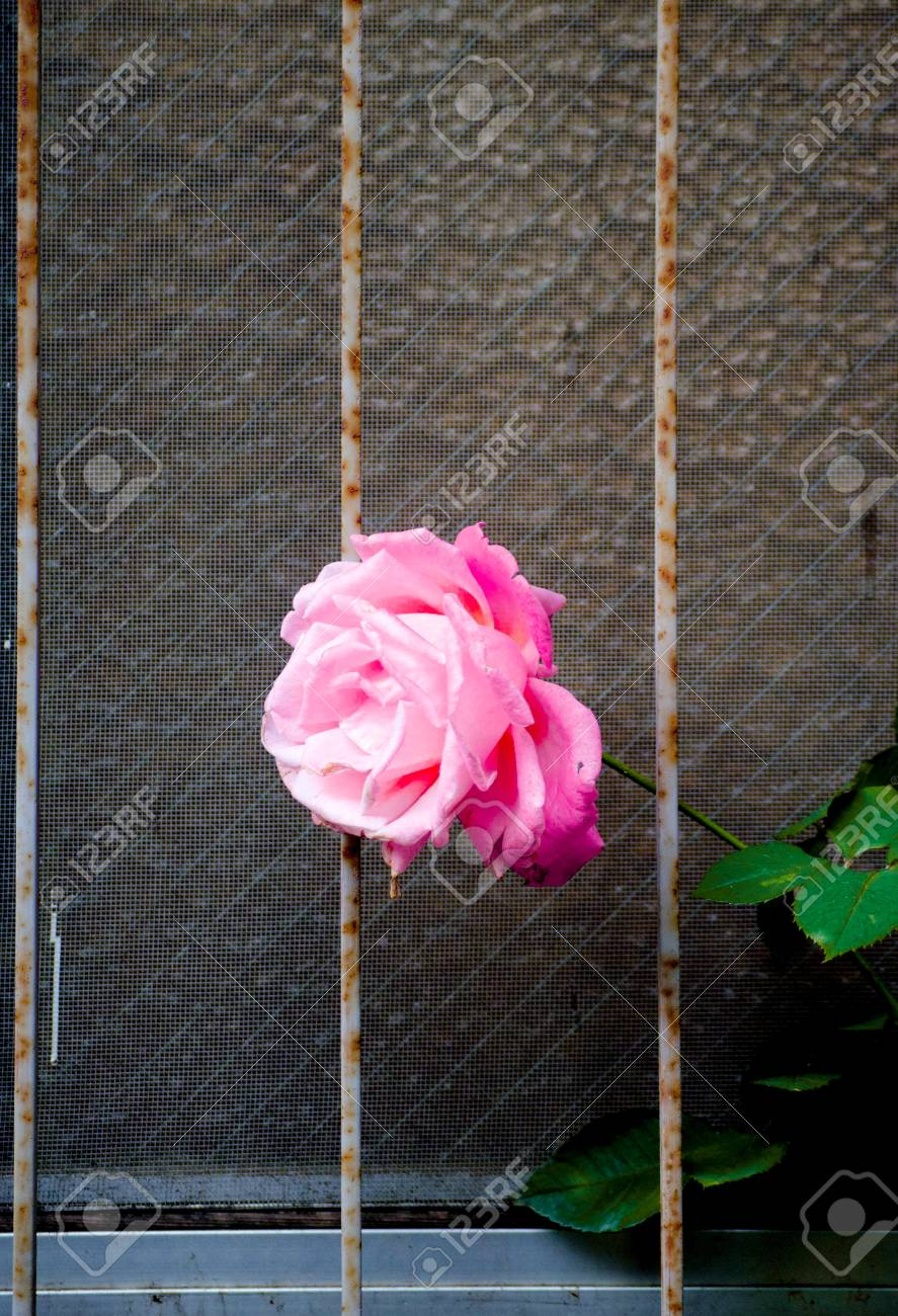 Rose On The Window Is Taken Around Tokyo Rose Is A Flower Which