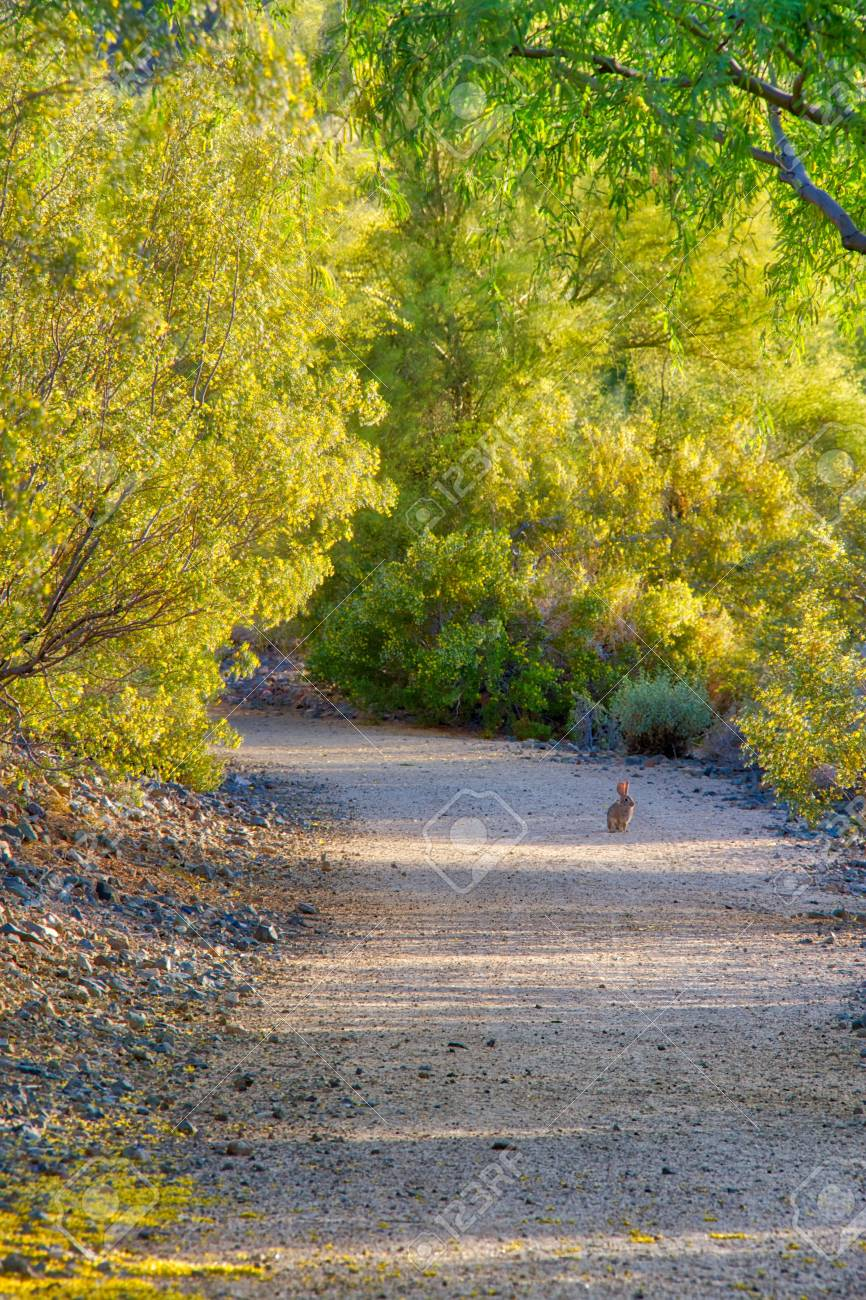 A Rabbit On A Trail Surrounded By Blooming Palo Verde Trees Stock