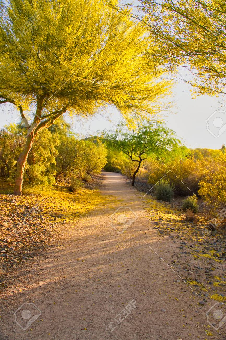 A Palo Verde Tree In Bloom With Fallen Petals On A Trail In Arizona