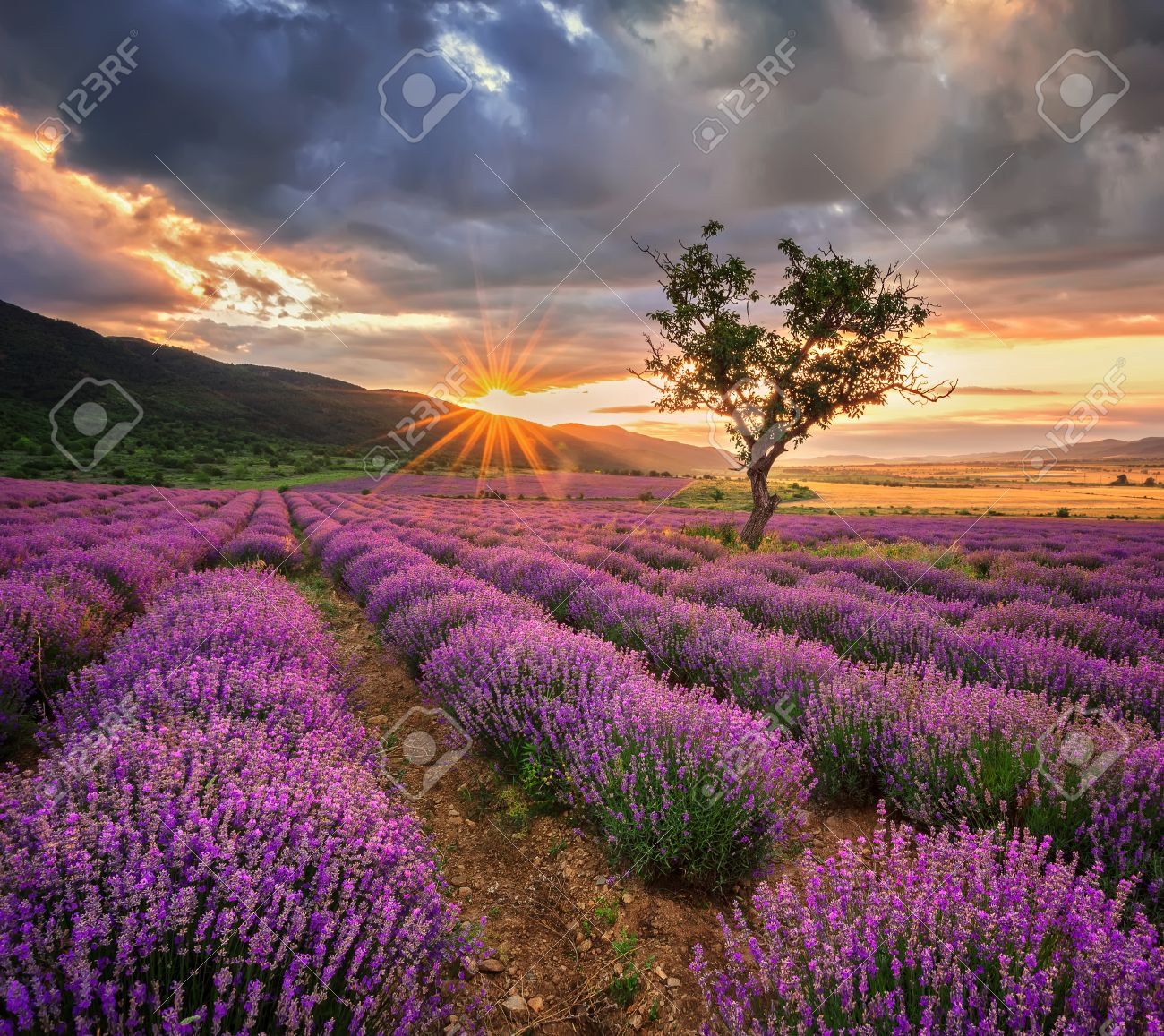 Stunning landscape with lavender field at sunrise - 44285506