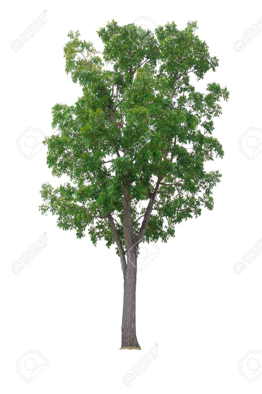 Mahagonibaum  Mahagoni-Baum Isoliert Auf Weißem Hintergrund Lizenzfreie Fotos ...