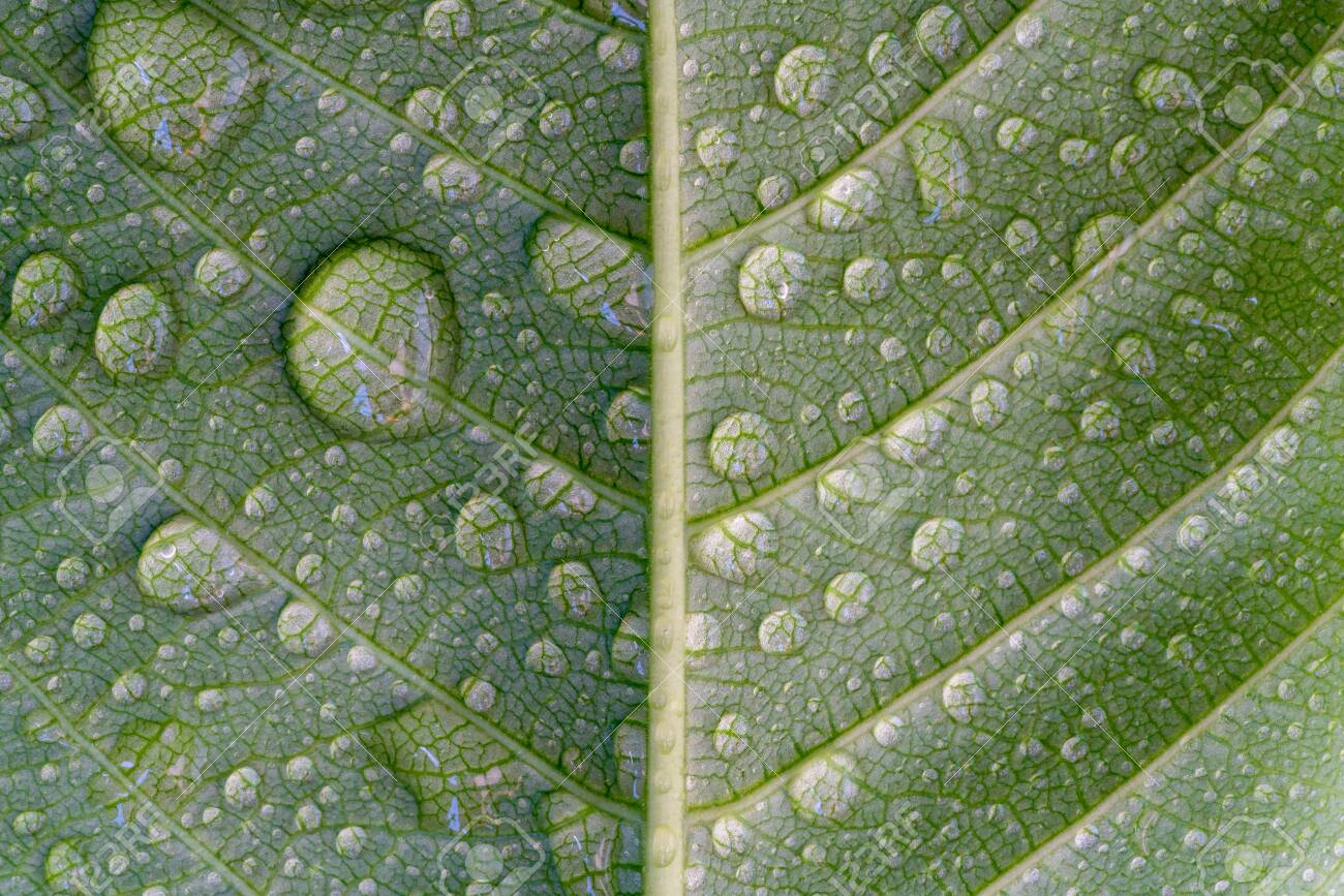 Water drop on green leaf, abstract macro wet foliage texture, pattern and background - 122942215