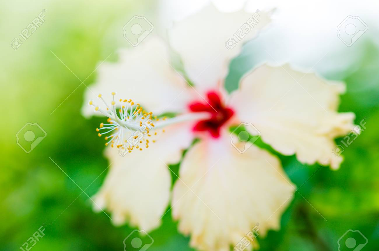The Close Up Pollen Of White Hibiscus Flower Stock Photo Picture