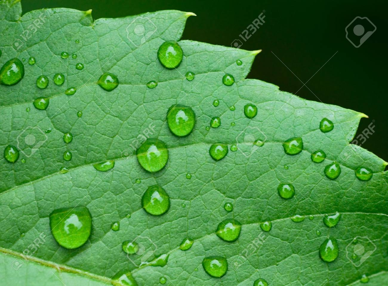 droplets on leaf - shallow focus Stock Photo - 1091830