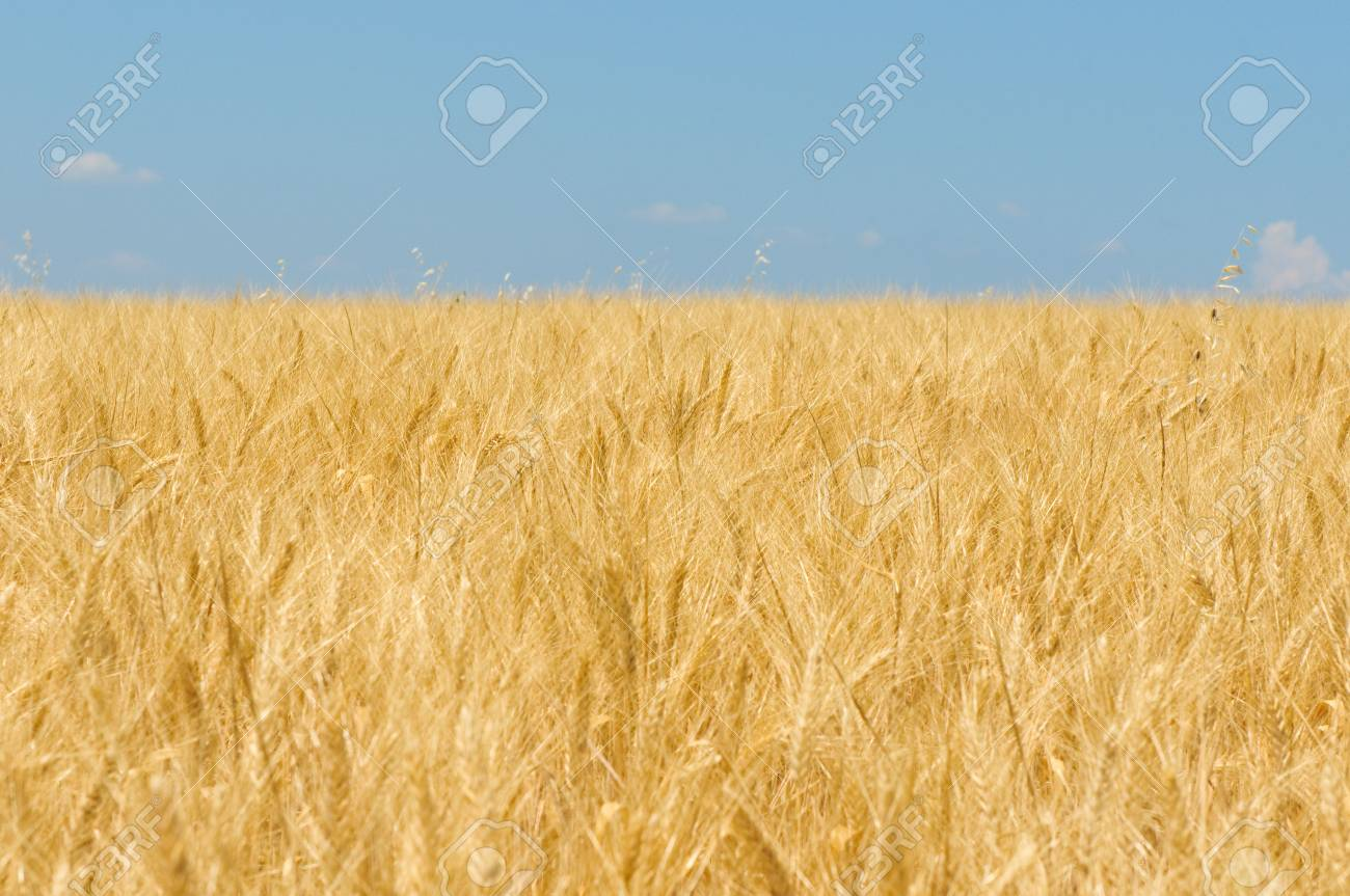 Wheat field Stock Photo - 5198449