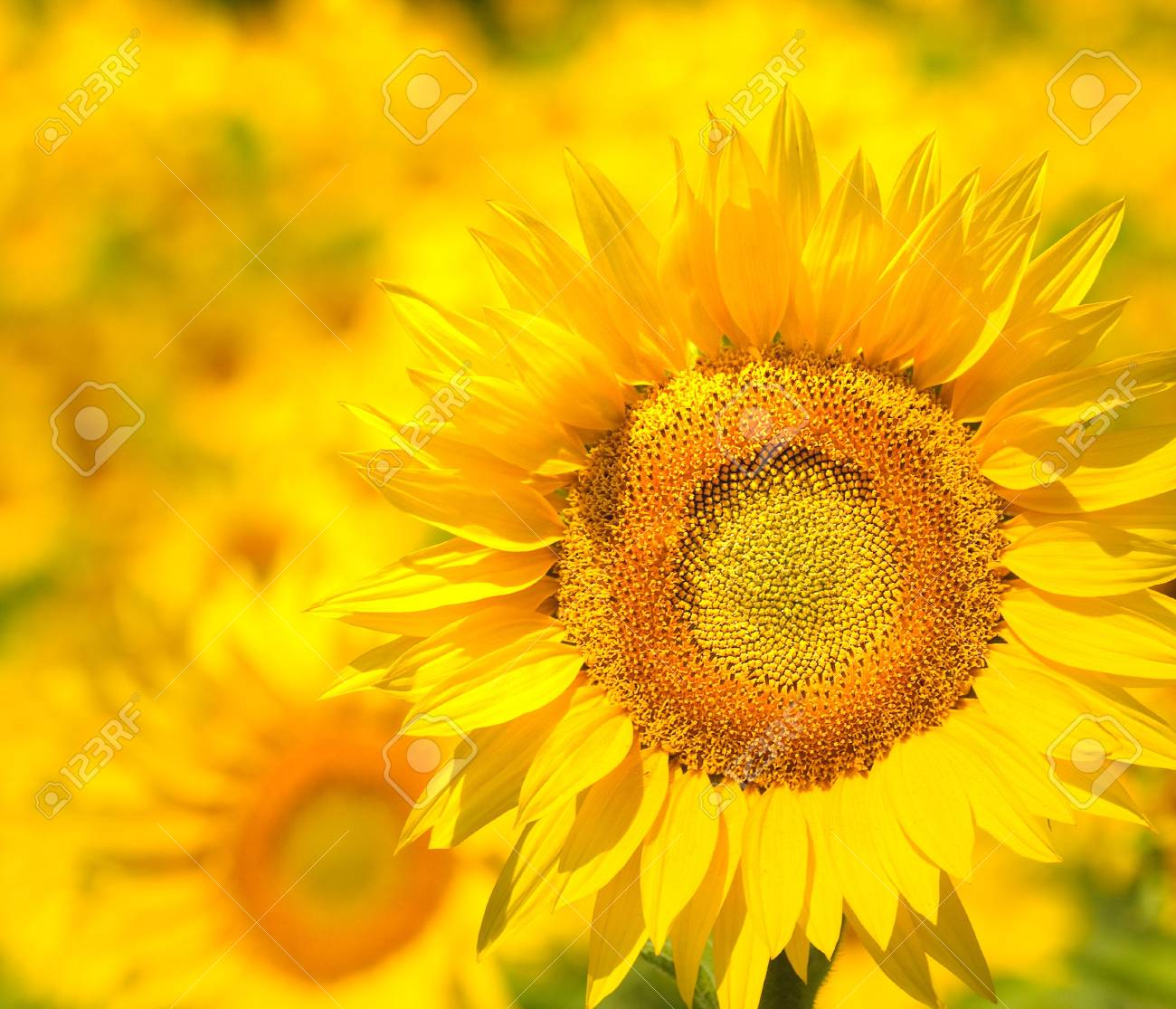 Sunflower field, Provence, France, shallow focus Stock Photo - 5409596