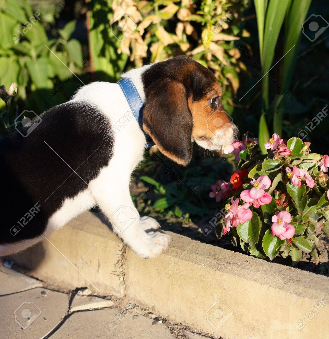 Side view of cute beagle puppy smelling some pink flowers in side view of cute beagle puppy smelling some pink flowers in the yard stock photo voltagebd Image collections