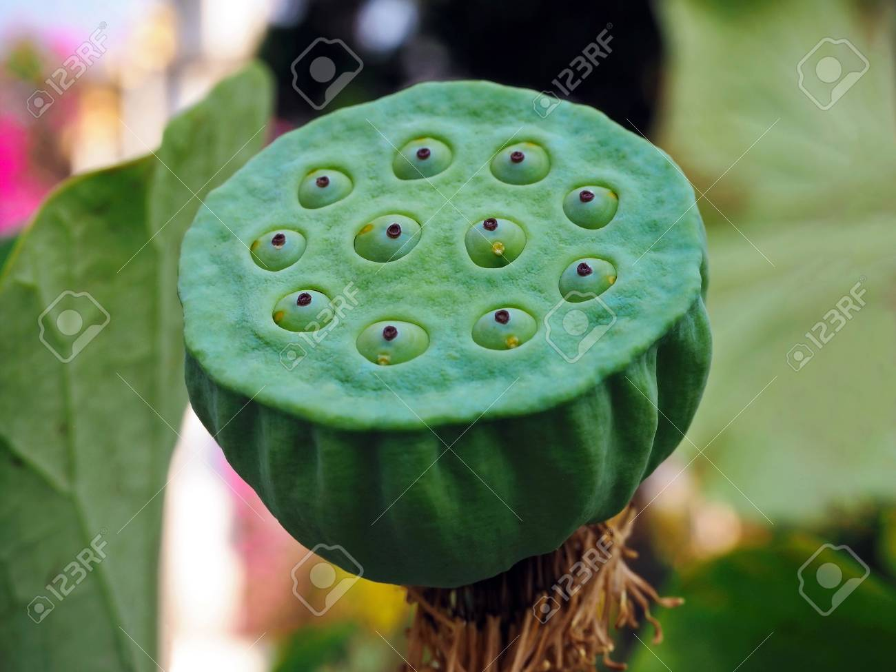Close Up Image Of Lotus Seed Pod In The Lake Stock Photo Picture
