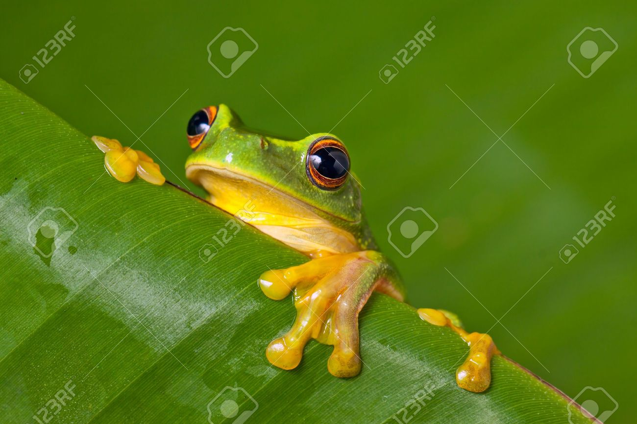 Cute And Colorful Orange Thighed Tree Frog (Litoria Xanthomera ...