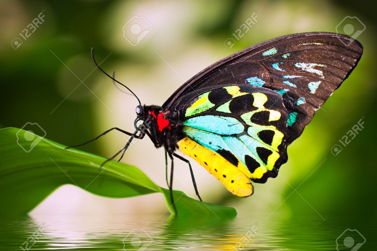 A beautiful male Cairns Birdwing Butterfly (Ornithoptera euphorion) sitting on a leaf with refelction in the water. - 26901153