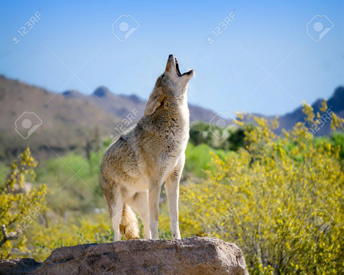 Coyote Howling in American Southwest - 80698237