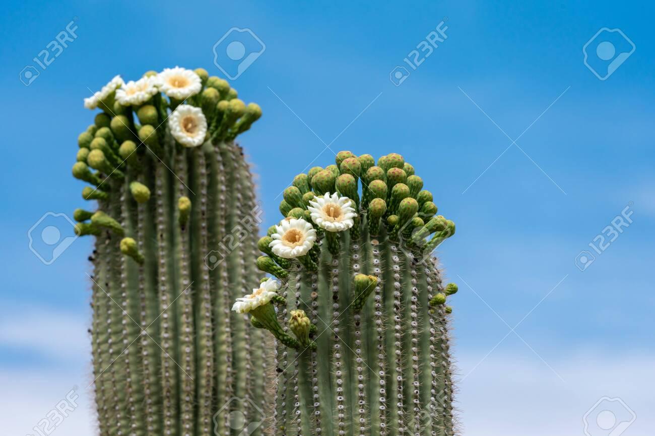 Saguaro Cactus Flowers on top against sky - 127061285