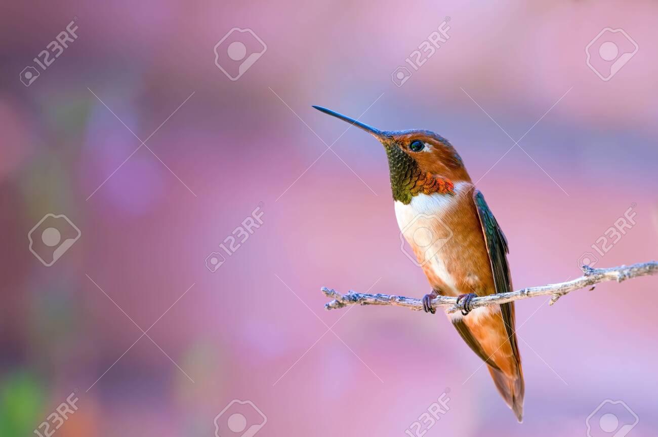 Rufous Hummingbird Selasphorus rufus negative space on branch - 127061340