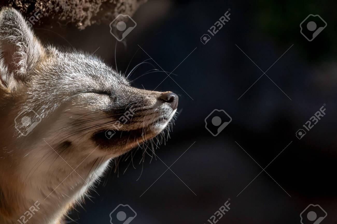 Grey Fox Close Up eyes closed asleep in sun - 127061353